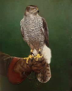 "Portrait of Goshawk ""Dusty"" Owned and flown by Mr. M van Appeldorn Oil on panel 38x48 cm"