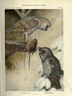 pt.2 (1914) - Birds of New York - Biodiversity Heritage Library | Louis Agassiz Fuertes