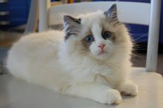You can trust these eyes | CashmereRags Pumpkin Pie of Pacificats, a seal point bicolor ragdoll boy of three months of age exactly. He's probably got the best Ragdoll temperament we have seen in ages; he reminds us a lot of Denver.
