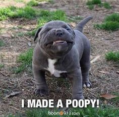 """I made a Poopy!"" ~ Dog Shaming shame - Pit Bull - Funny Animal Pictures – 25 Pics"