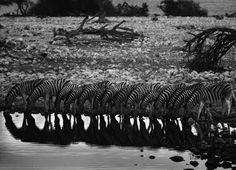 Zebras tomam água simultaneamente na Namíbia e são fotografadas por Sebastião Salgado