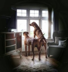Home security provided by Rhodesian Ridgebacks