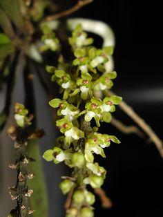 Saccolabiopsis armitii