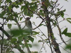 野鳥. a juvenile. 24 July 2016. オオルリかキビタキのどちらかだと思うのですが、今の私には同定できません。