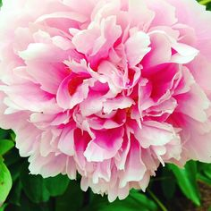 Beautiful peony!!  Photo by scrappyjedi