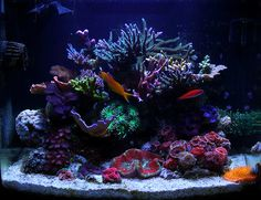 Each month we feature a member of the community and their reef tank to show the many successful ways to keep a reef aquarium. Saltwater Aquarium Fish, Saltwater Tank, Reef Aquarium, Nano Reef Tank, Reef Tanks, Aquarium Design, Aquarium Ideas, Fish Tank Terrarium, Sps Coral