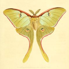 Luna moth drawing