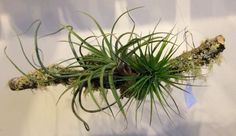 lichen branch accented with tillandsia  | Gorgeous and Green