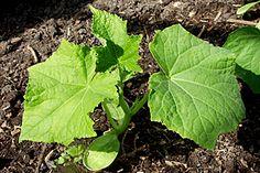 Agurkplante - udplantning.