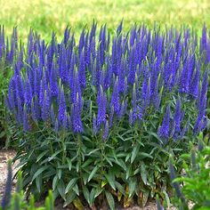 rabatt blommor Magic Show Wizard of Ahhs - Spike Speedwell - Veronica hybrid Blue Plants, Exotic Plants, Shade Plants, Growing Flowers, Planting Flowers, Flowers Garden, Flower Gardening, Flower Plants, Potted Flowers