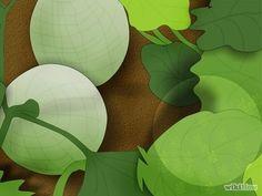 Image intitulée Grow Cantaloupe Step 14