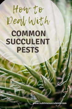 Learn how to deal with common succulent pests today! Mealybugs, scale, fungus gnats, and spider mites are pests that many succulent owners will struggle with at some point or another. Check out this pin for some tips! Flowering Succulents, Cacti And Succulents, Cactus Plants, Succulent Planter Diy, Succulent Care, Succulent Species, Spider Mites, The More You Know, Types Of Plants