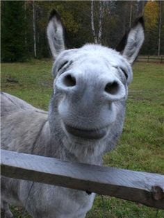 Animal humour: the laughing Donkey