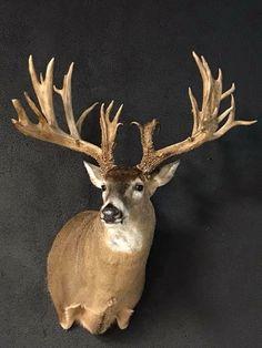 Whitetail Deer Pictures, Whitetail Deer Hunting, Whitetail Bucks, Taxidermy Display, Big Deer, Deer Mounts, Big Boyz, Deer Art, Antlers