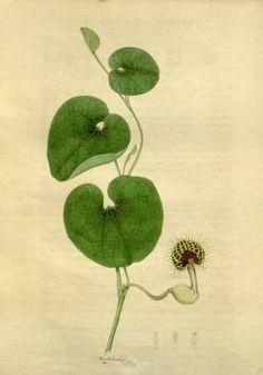 v. 1-2 1836-38 - The Botanist : - Biodiversity Heritage Library