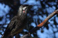 Red Wattlebird (Anthochaera carunculata) One bird in a tree