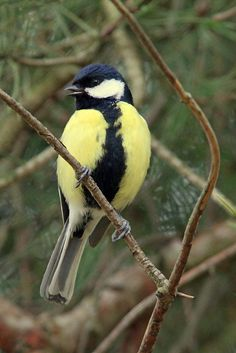 ˚Great Tit . The great tit is large for a tit at 12.5 to 14.0 cm (4.9–5.5 in) in length, and has a distinctive appearance that makes it easy to recognise. The nominate race P. major major has a bluish-black crown, black neck, throat, bib and head, and white cheeks and ear coverts. The breast is bright lemon-yellow and there is a broad black mid-line stripe running from the bib to vent. There is a dull white spot on the neck turning to greenish yellow on the upper nape. The rest of the nape…