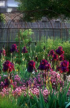 .bearded iris in the herb garden