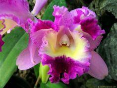 La Orquídea venezolana es originaria de la Cordillera de la Costa.  Su nombre científico Cattleya recuerda a William Cattley, quien en 1818 cultivó los primeros bulbos de esta planta en Inglaterra, a través de unas especies enviadas desde Brasil y fue el botánico Jhon Lindley quien le dio este nombre. En 1839 fue hallada la Cattleya mossiae en Venezuela.