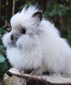 Sable Point lionhead rabbit