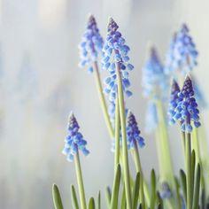 beautiful little blooms. hyacinth? blue bells?