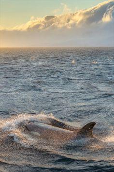 All Orcas belong in an endless ocean