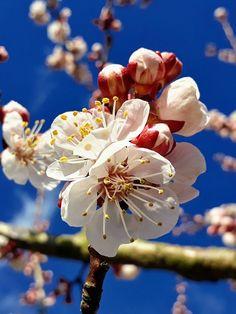 Free Image on Pixabay - Apricot Blossom, Apricot, Blossom Free Pictures, Free Images, Apricot Blossom, Appreciation, Nature, Plants, Flowers, Naturaleza, Plant