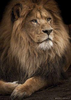 The King - Wolf Ademeit Photography www.wolfademeit.de #animalportrait #lion…