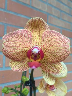 Flowers: Orchidea