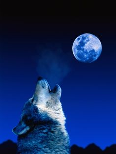 Wolf Howling at the Moon Stampa fotografica