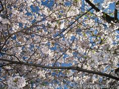 Cherry blossoms in Washington, D.C.  i get to see these this spring! cant wait!!