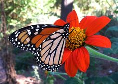 Monarch on Tithonia                                                                                                                     Photo by Robin Macy    September 2014