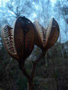 Cardiocrinum giganteum Seed Pods by Tralamander