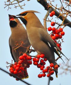 Lets share by Mick Adcock on Flickr. Waxwings @ Sheffield