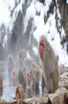 Jigokudani Snow Monkey Park is located in Yamanouchi district of the Japanese Alps. How to get to Jigokudani Snow Monkey Park. Snow Monkey Park, Japan, Pictures, Photos, Japanese Dishes, Photo Illustration, Drawings