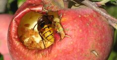Cum împiedicăm viespile să vandalizeze via și livada Compost, Vegetable Garden, Garden Design, Apple, Vegetables, Fruit, Plants, Gardening, Horticulture