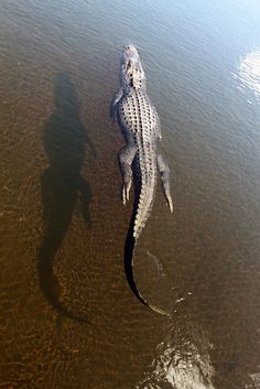 Alligator; In CoCoNut Creek Community Center's Man-Made Lake InBetween WindMill's Park-CoCoNut Creek,Florida.