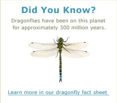 Dragonfly Facts And Pictures