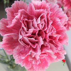 Funza Specialty Carnation from Flores Funza. Variety: Hacienda. Availability: Year-round.