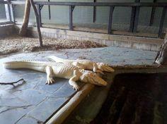 Albino Alligators at Alligator Adventure at Myrtle Beach
