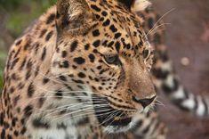 El leopardo es un mamífero carnívoro de la familia de los félidos. Al igual que tres de los demás félidos del género Panthera, el león, el tigre y el jaguar, están caracterizados por una modificación en el hueso hioides que les permite rugir.