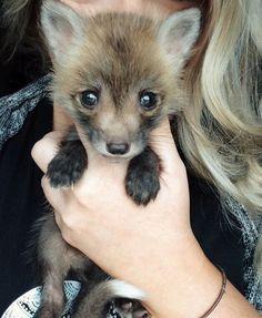 ¿Un zorro como mascota? Conoce a Juniper, la pequeña reina del Instagram
