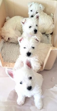 Westies ❤❤❤❤ OMG, If I could have 4 Jodie's I would be in heaven!