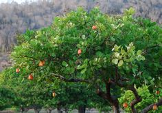 Cashew tree:  Anacardium occidentale Fruit is used for juices and jams, the nut hangs from the fruit.   Native of Brazil, tropical and subtropical climate, grows to 10m tall  Cajueiro (Foto: DoDesign-s)