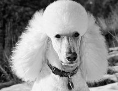 White Standard Poodle, Carlito