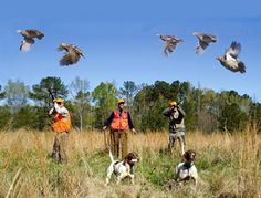 Are you having troubles taking down quails? Check out these effective quail hunting tips that will guide you this hunting season! Quail Hunting, Deer Hunting Tips, Pheasant Hunting, Bow Hunting, Hunting Dogs, Hunting Birds, Hunting Stuff, Turkey Hunting Season, Hunting Rifles