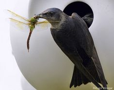Purple Martin by Richard Winegar The Case of the Missing Martins... from Wildlife Promise Read on to see how you might be able to help!