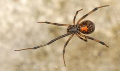 spiders in south africa Egg sac of a Southern black widow, Latrodectus mactans (Fabricius). - Google Search