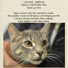 ADOPTED/RESCUED - NYC **Adorable Tiny Guy For 8 Months**TO BE DESTROYED 03/12/15 RIPPLES - Very tolerable of exam/handling & Very sweet yet NH. Spine is bent. Not painful. Unsure if old injury or develop. ID #A1029499. Gray tabby & black OWNER SUR PERS PROB.