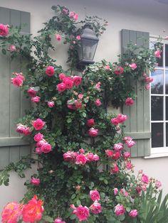 Beautiful Gardens, Beautiful Flowers, Evergreen Herbs, Front Door Plants, Eden Rose, Growing Roses, Climbing Roses, Rose Cottage, Shade Garden